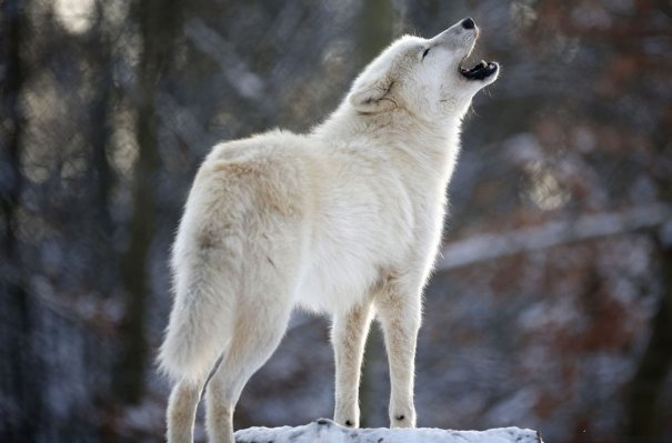 Мужчина - волк - №3