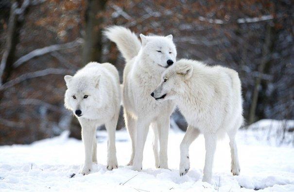 Мужчина - волк - №9