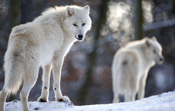 Мужчина - волк - №18