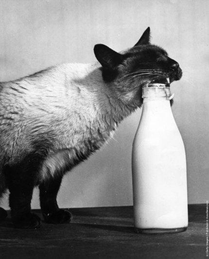 """""""Ретро"""" фото котов. Как это делали раньше - №3"""