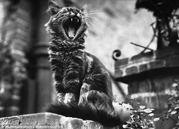 """""""Ретро"""" фото котов. Как это делали раньше - №5"""