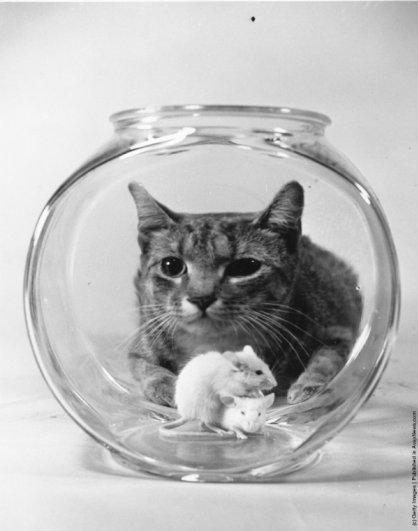 """""""Ретро"""" фото котов. Как это делали раньше - №7"""