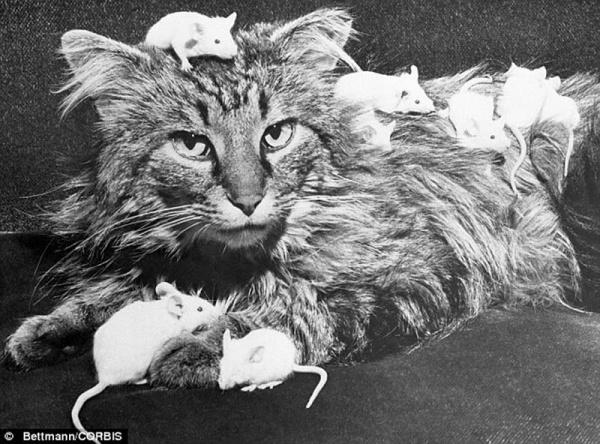 """""""Ретро"""" фото котов. Как это делали раньше - №9"""