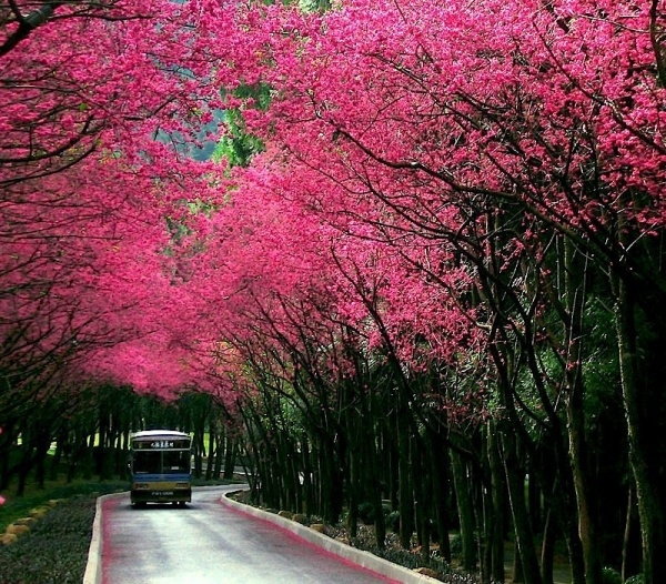 Фото сакуры цветущей в Японии увидите вы - №1