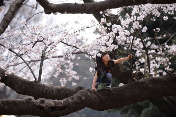 Фото сакуры цветущей в Японии увидите вы - №2