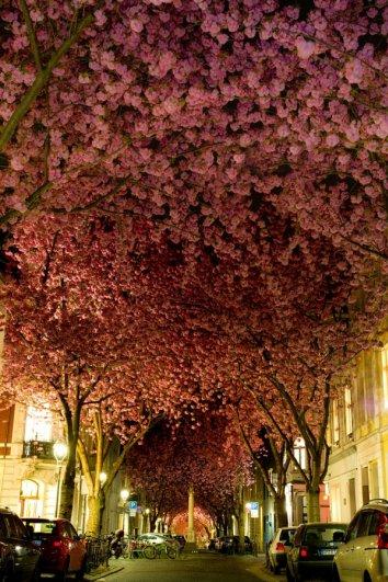 Фото сакуры цветущей в Японии увидите вы - №3