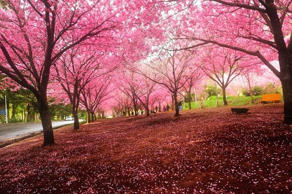 Фото сакуры цветущей в Японии увидите вы - №5