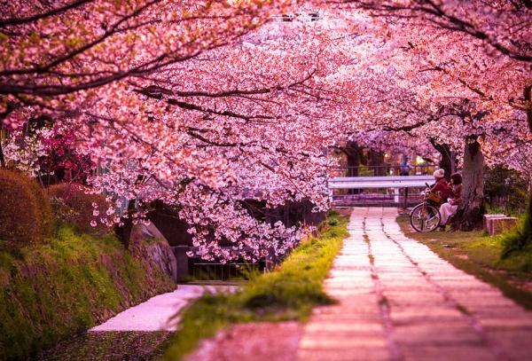 Фото сакуры цветущей в Японии увидите вы - №7