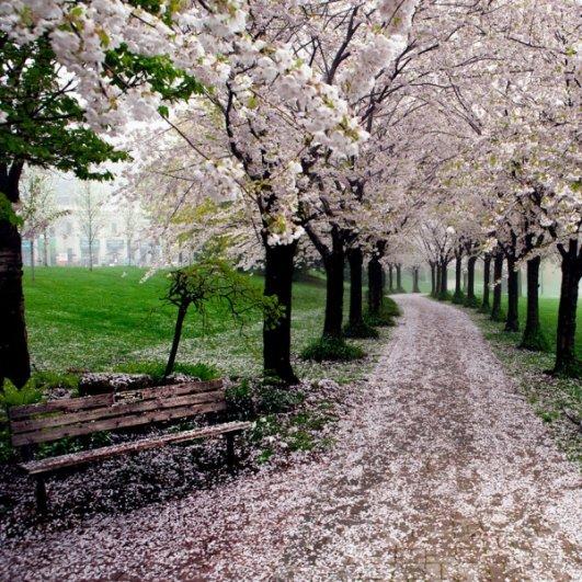 Фото сакуры цветущей в Японии увидите вы - №9