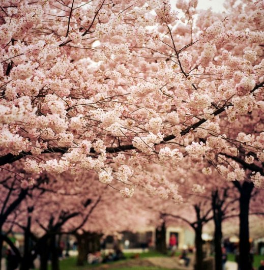 Фото сакуры цветущей в Японии увидите вы - №16