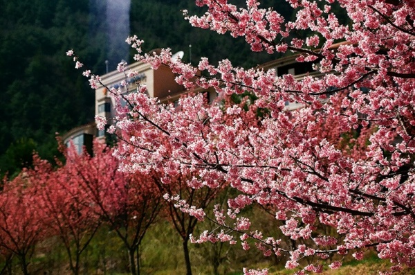 Фото сакуры цветущей в Японии увидите вы - №18