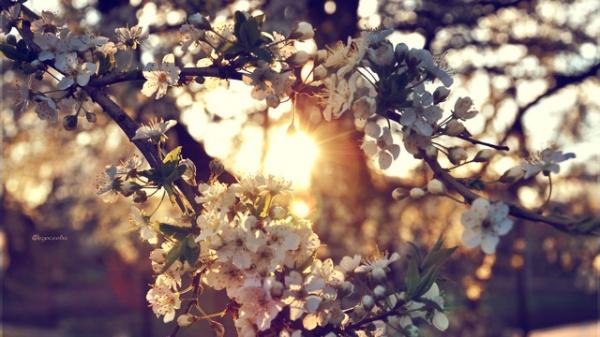 Фото сакуры цветущей в Японии увидите вы - №20