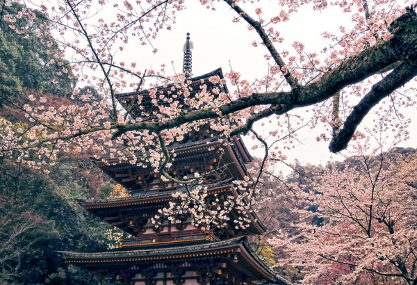 Фото сакуры цветущей в Японии увидите вы - №21
