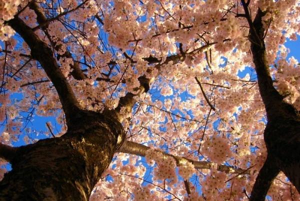 Фото сакуры цветущей в Японии увидите вы - №22