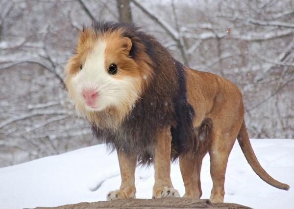 Фото юмор. Морская свинка с телом льва, пес с телом гориллы и другие! - №2