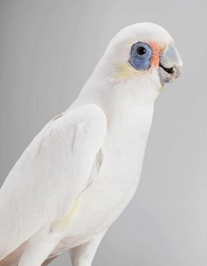 Попугаи фотографа Лейлы Джеффрис/Leila Jeffreys - №8