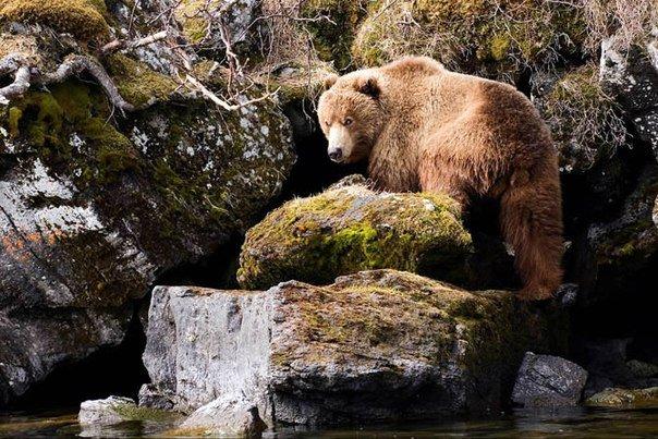 .. У каждого зверя есть своя граница личного пространства. Когда ее переступают, медведь начинает защищаться. ...