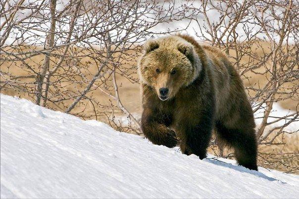 Если медведь захочет, он вас догонит.