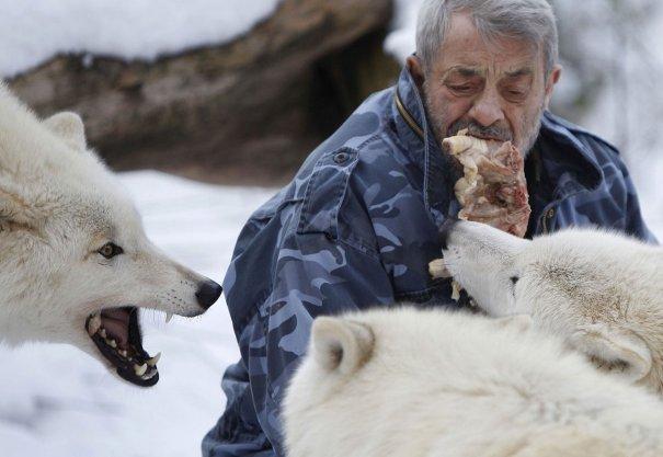 Werner Freund кормит Арктических волков мясом изо рта.