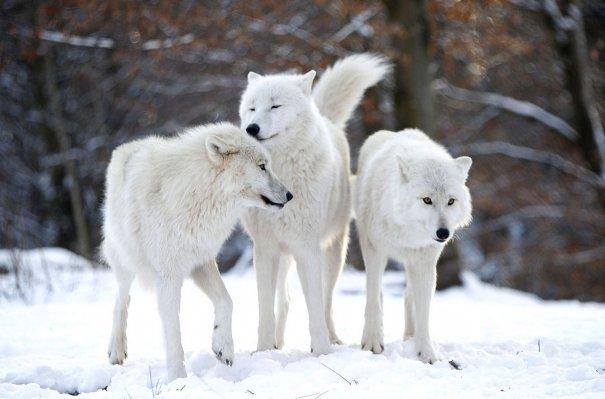 Полярные Арктические волки.