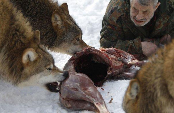 Монгольские волки получили от своего человека-вожака сигнал, чтобы приступить к трапезе.