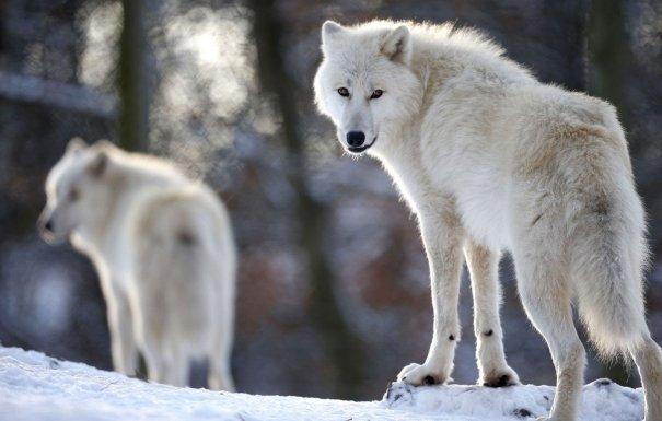 Каждый волк — личность, индивидуум.