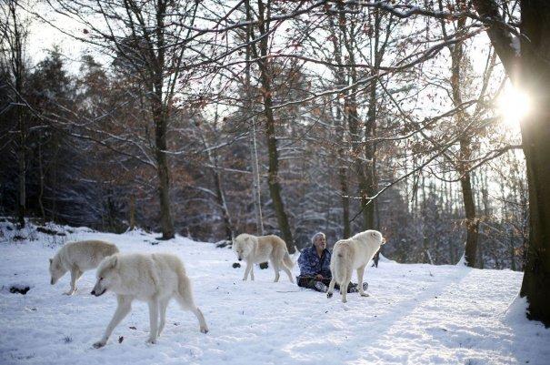 Стая Арктических волков бродит возле исследователя.