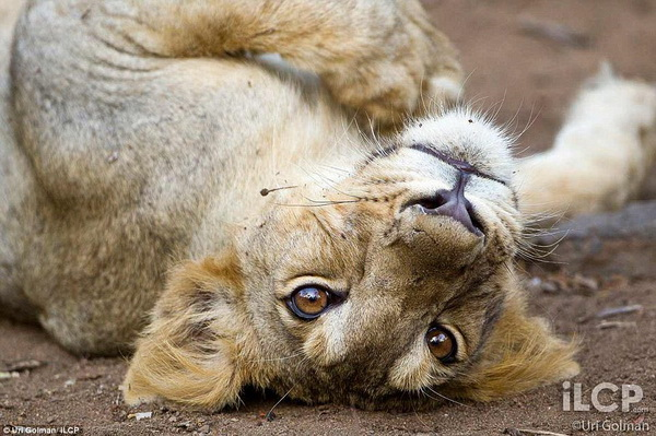 Ури Гольман фотографирует дикий, но притягательный животный мир - №4