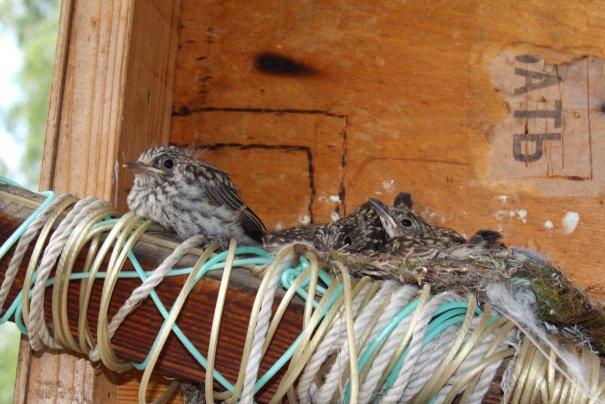 24 Самый первый птенец, который готов покинут родительский дом и улететь.