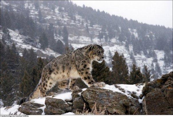 Кошки в дикой природе от Джонатана Гриффитса (Jonathan Griffiths) - №2