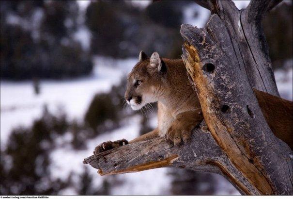 Кошки в дикой природе от Джонатана Гриффитса (Jonathan Griffiths) - №3
