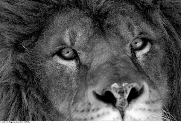 Кошки в дикой природе от Джонатана Гриффитса (Jonathan Griffiths) - №4