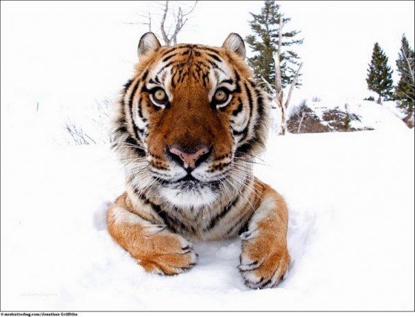 Кошки в дикой природе от Джонатана Гриффитса (Jonathan Griffiths) - №6