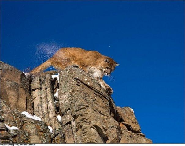 Кошки в дикой природе от Джонатана Гриффитса (Jonathan Griffiths) - №8