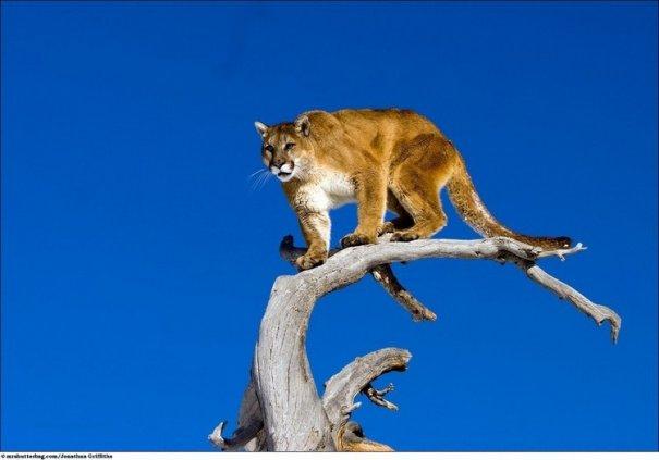 Кошки в дикой природе от Джонатана Гриффитса (Jonathan Griffiths) - №9