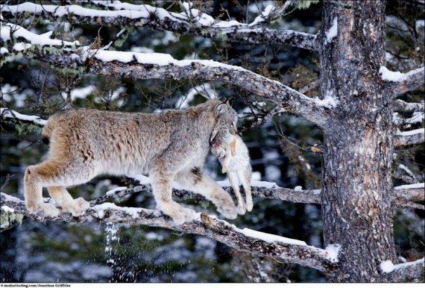 Кошки в дикой природе от Джонатана Гриффитса (Jonathan Griffiths) - №10