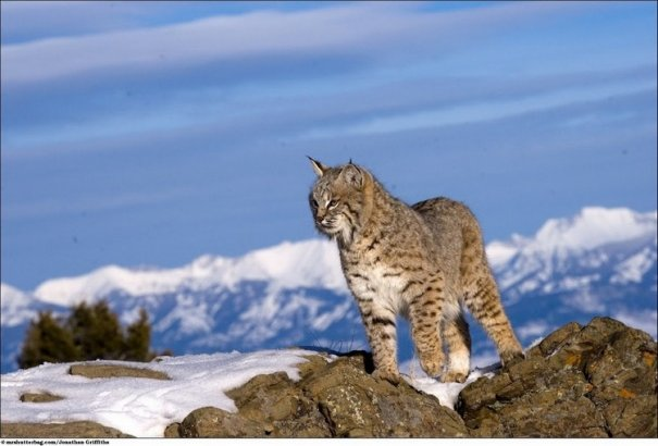 Кошки в дикой природе от Джонатана Гриффитса (Jonathan Griffiths) - №12