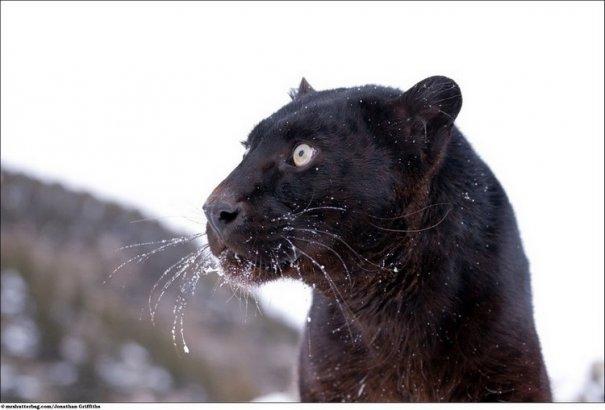 Кошки в дикой природе от Джонатана Гриффитса (Jonathan Griffiths) - №13