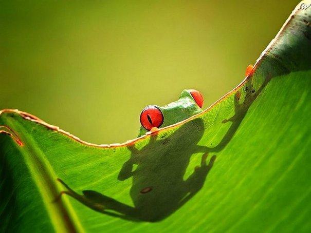 Shikhei Goh – фото лягушек