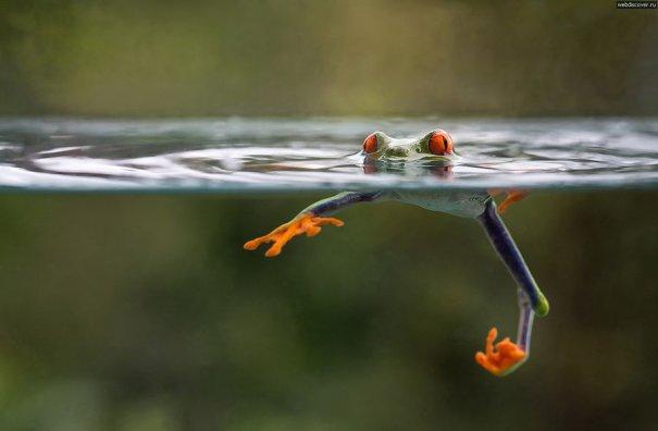 Nicolas Reusens – фото лягушек стеснительных