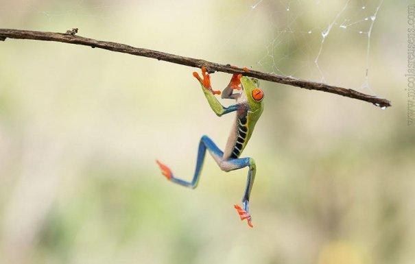 Nicolas Reusens – фото красивых лягушек