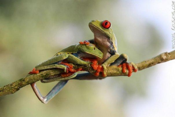 Nicolas Reusens – фото больших лягушек