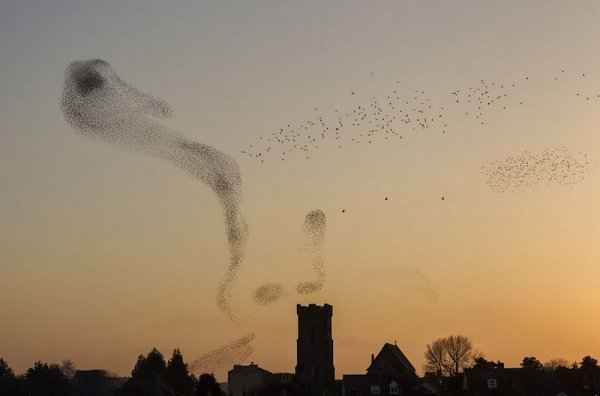 Nigel McCall - Starlings over Carmarthen