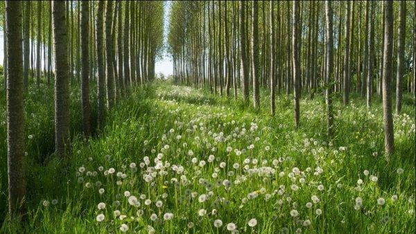 Steve Gray - Morning Light in the Poplars