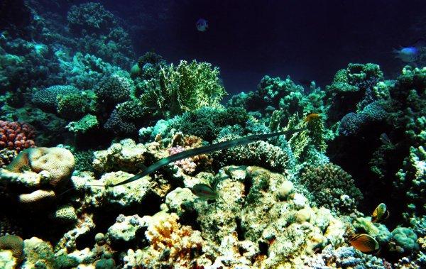 Рыба-флейта[1]