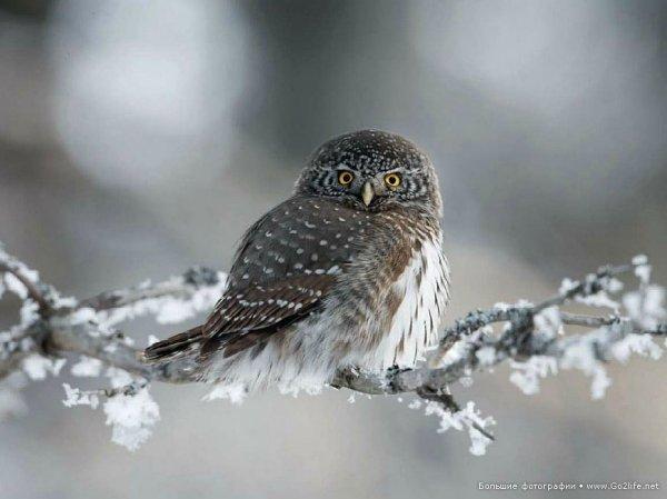 Финские совы - удивительные представители хищных птиц - №2