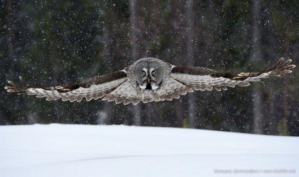 сова хищная птица