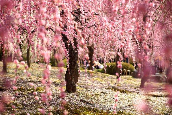 Самые красивые фотографии цветения сакуры - №4