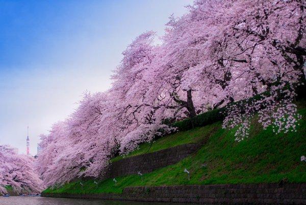 Самые красивые фотографии цветения сакуры - №8