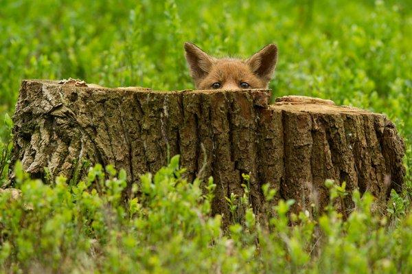 Насладитесь милыми фотографиями рыжей лисы - №8